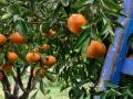 Mandarin-treeWeb