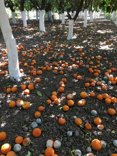 Orangen am Boden
