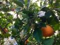 Orangen mit Blüten