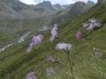 Prachtnelke auf Bergwiese