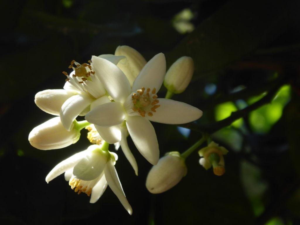 Orangenblüte - Neroliduft